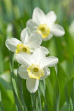Narcissus bunch. Narcissus flower and leaves, small deep of view Royalty Free Stock Photo