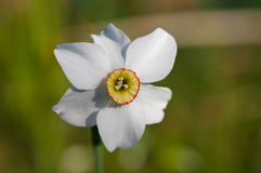 Narcissus close up Royalty Free Stock Photo