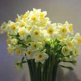 Narcissus. Closeup of white daffodil (narcissus poeticus) flowers Stock Images