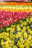 Narcissus and colorful tulips Stock Photos