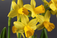 The Narcissus cyclamineus Tete a Tete Royalty Free Stock Photography