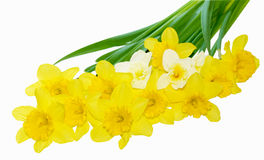Narcissus Daffodial. Group of narcissus daffodil flowers isolated on white Royalty Free Stock Photo