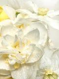 Narcissus daffodil флористического предложения предпосылки белый цветет в Стоковое Изображение RF