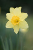 Narcissus Daffodil Royalty Free Stock Images