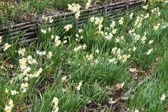 Narcissus Daffodil-bloemen royalty-vrije stock afbeelding