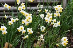 Narcissus Daffodil-bloemen royalty-vrije stock fotografie