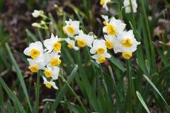 Narcissus Daffodil-bloemen royalty-vrije stock foto