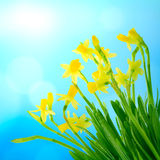 Narcissus and daffodil on a blue sky. Beautiful yellow narcissus and daffodil on a blue sky Royalty Free Stock Photo