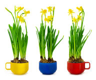Narcissus and daffodil in the cup. On white background Royalty Free Stock Photo
