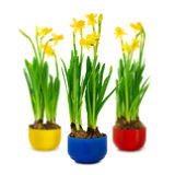 Narcissus and daffodil in the flower pot Royalty Free Stock Photos