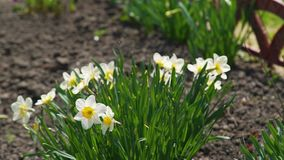 Narcissus Daffodil Flowers in a Garden. White Narcissus Flowers Blooming in Early Spring in a Garden. Narcissus Flower also Known as Daffodil, Daffadowndilly and stock video footage