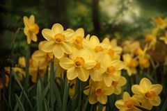 Narcissus daffodil flowers. Narcissus flower. Narcissus daffodil flowers and green nature background royalty free stock image