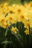 Narcissus daffodil flowers at nature. Narcissus flower. Narcissus daffodil flowers and green nature background stock photo