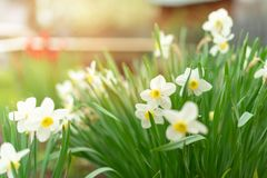 Narcissus - daffodil flowers, selective focus. Greeting card concept, banner or background stock photos
