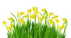 Narcissus and daffodil isolated. On a white background Royalty Free Stock Photography