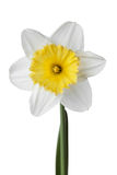Narcissus, daffodil, jonquil isolated on white background. Narcissus, daffodil, jonquil isolated white background stock photo
