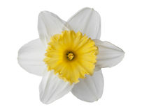 Narcissus, daffodil, jonquil isolated on white background. Narcissus, daffodil, jonquil isolated white background royalty free stock image