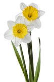 Narcissus, daffodil, jonquil isolated on white background. Narcissus, daffodil, jonquil isolated white background royalty free stock photography