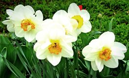 Narcissus daffodil, Lent lily. In the spring garden stock photo
