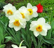 Narcissus daffodil, Lent lily. In the spring garden royalty free stock photography
