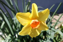Narcissus or Daffodil perennial herbaceous plant with bright yellow flower planted in local garden and surrounded with other. Multiple tall trees with white bark royalty free stock image