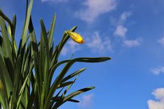 A Narcissus Daffodil Ready To Bloom In Spring stock photography
