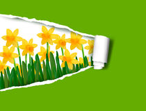 Narcissus and daffodil spring flower background. With ripped paper  Vector illustration Stock Image