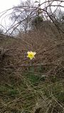 Narcissus (Daffodil) surrounded by Brambles. Diamond in the Rough Royalty Free Stock Images