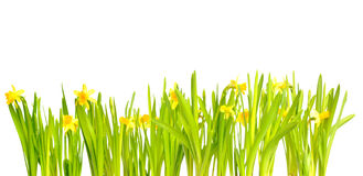 Narcissus / Daffodil on White Background Royalty Free Stock Photo