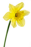 Narcissus or daffodil on a white background Royalty Free Stock Images