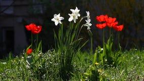 Narcissus Daffodill en tulpen op zonlicht in aard in groen met wilde vogelliederen De achtergrond van het tulpenbehang De bloemen stock videobeelden