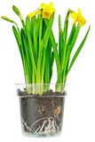 Narcissus Daffodils Immagini Stock