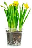 Narcissus Daffodils Imagens de Stock
