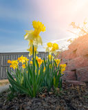 Narcissus daffodils Royalty Free Stock Photo