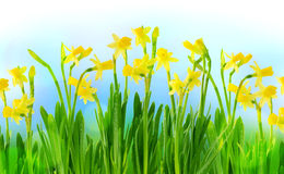 Narcissus and daffodils on a blue sky. Yellow narcissus and daffodils on a blue sky Royalty Free Stock Images