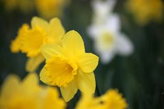 Narcissus Daffodils at Easter time Royalty Free Stock Images