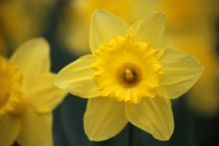 Narcissus Daffodils at Easter time Royalty Free Stock Photo