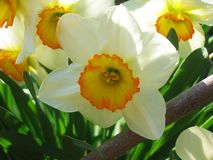 Narcissus, Daffodils in the garden stock photography