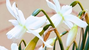 Narcissus Stock Photography