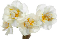 Narcissus Stock Images