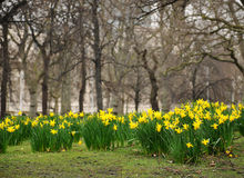 Narcissus in early spring Royalty Free Stock Image