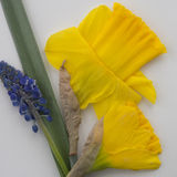 Narcissus en Bluebell Royalty Free Stock Photo