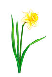 Narcissus - eps10 vector illustration Royalty Free Stock Photography