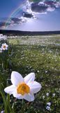 Narcissus field Royalty Free Stock Photos