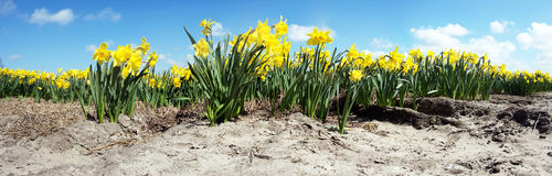 Narcissus Field Stock Image