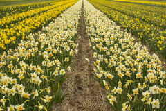 Narcissus field. Blooming in spring. South Holland, Netherlands Stock Images