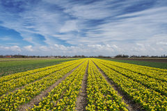 Narcissus field in Holland on a sunny spring day Stock Photos