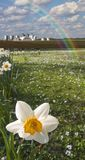 Narcissus field royalty free stock images