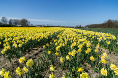 Narcissus field in the Netherlands. Flower fields and bulbs growing in the Netherlands Stock Photos