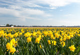 Narcissus field in the Netherlands. In May is a local attraction for the tourists Stock Photo